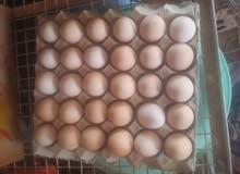 بيع بيض دجاج كوشان مخصب يصلاح لي تفيس
