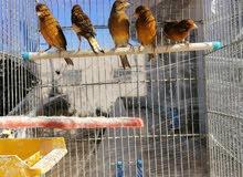 عصافير كنار ذكوره نحاسيات
