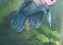 للبيع سمك يعيش بدون اكسجين مع حوض واكل 60 ريال وفي 30