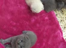 قطط من نوع سكوتش فولد  ( بيور )