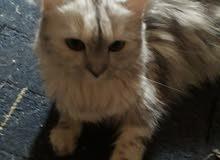 قطة شيرازي انثي رمادية