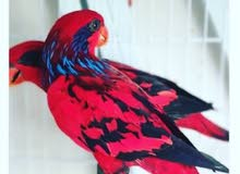 Blue streaked lory breeding pair for sale