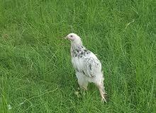 ديك + دجاجه. براهما دكتوره عمرهن 5 اشهر السعر 120 الف