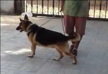 كلب الماني