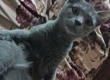 قطة روسي ازرق للبيع