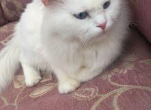قطه شيرازي ذكر للبيع