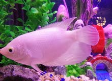 سمك الزينة من اجمل الاسماك