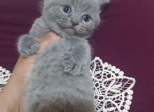 british short hair blue kitten for sale!