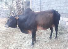 ثور عماني للبيع