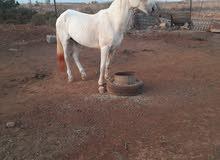 احصان للبيع