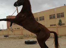 حصان ابن غيلان