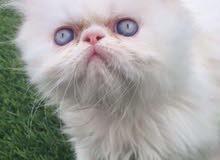 مطلوب قطة بيكي فيس للبيع او للتبني، شرط ان لا يزيد عمرها عن الثلاثة أشهر.