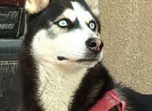 مطلوب كلب هاسكي