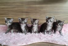 Pure breed maine coon kittens silver tabby with pedigree