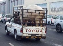 ثور- سيارة نقل الحيوانات ف انحاء الداخليه والباطنه