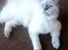 قطة هملايا بلو بوينت بيور عمرها 10 شهور بسعر مغري