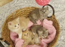 5 قطط للبيع شيرازي مفحوصة عند طبيب بيطري
