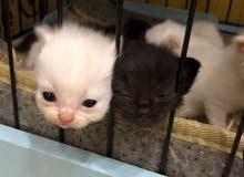 """قط شيرازي """" للحجز """""""