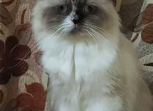 قطه هملايه انثى