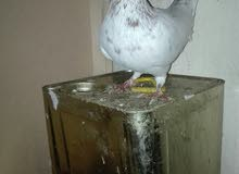 جوز كشميري احمر طير حمام على بتدوقاي