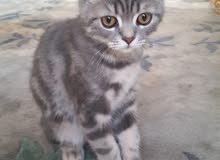 للبيع قطتان سكوتش . العمر 5 شهور.