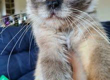 قط مكس هيمالايا سيامي