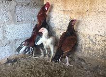 اللبيع ثلاث أزواج  دياكه و دجاج