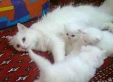مطلوب زوج قطط شيرازي