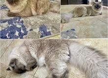 قط هملايا ذكر للبيع