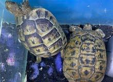Turtle/Tortoises