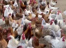 دجاج فرنسي بيور بياض