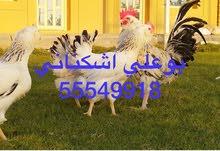 دجاج جاينت بوم