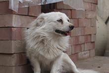 4 كلاب روسيه للبيع