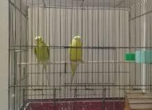 جوز طيور حب مع القفص للبيع