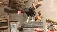 دجاج رس مظبوط
