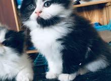 قطه بيكي بيور اصلي