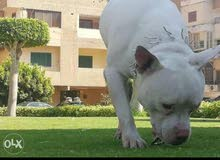 كلب بيتبول ريد نوز