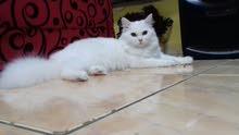 قطة شيرازي تركي للبيع