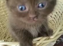 قطط سكوتش فولد مميزة وصحية