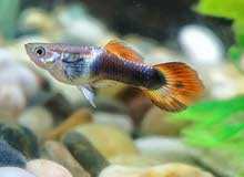 Peacock Fish for Sale
