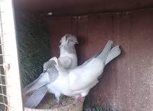 محلات عالم الطيور:تتوفر خدمة شحن الطيور من الاردن الى السعودية