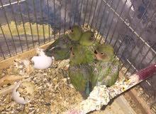 مجموعه عصافير