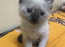 قطة هاملايا للبيع العمر شهر ونص أنثى وصحتها ممتازة جداً