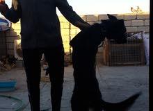 كلب جيرمن بلاك شيبرد فحل عمره 8  اشهر فول مواصفات