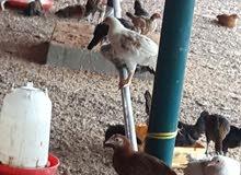 دجاج عماني جاهز للذبح