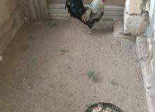 سلام عليكم  فروج عربي  للبيع  للجادين الاتصال طرابلس سوق الجمعه رقمي 0943186963