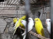طيور حب عيون حمر مخاليف كبار عمرهن 3اشهر