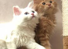 قطط شيرازي عمر شهر ونص