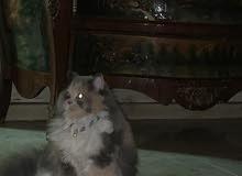 قطه شيرازي فخمه للبيع