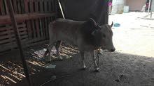 ثور عماني للبيع تارس لحم عمره سنتين